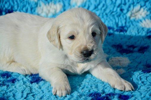 Dog, Golden Retriever Puppy, Pup, Dog Mister Blue Sky