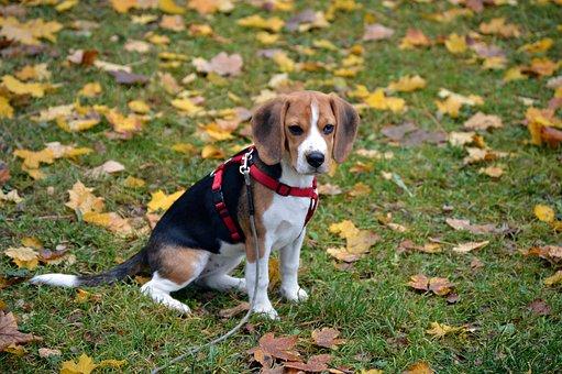 Beagle, Dog, Animal, Pet, Portrait, Cute, Puppies