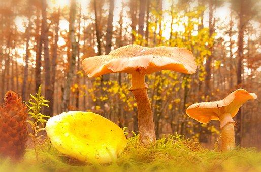 Opieńka Yellowish, Mushroom, Edible, Tasty, Pine Cone