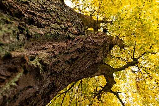 Linde, Linden, Bright, Autumn, Yellow, Fall Color