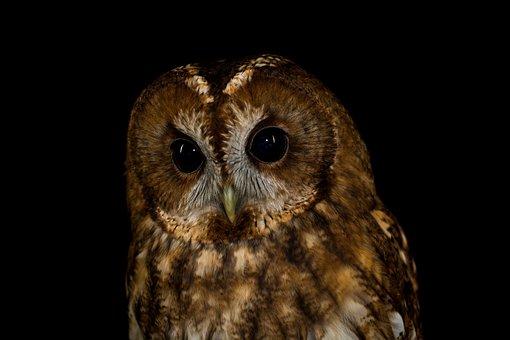Owl, Bird, Feather, Animal, Nature, Plumage, Raptor
