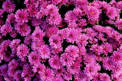 Chrysanthemum, Purple Flowers, Flower, Figure, Nature