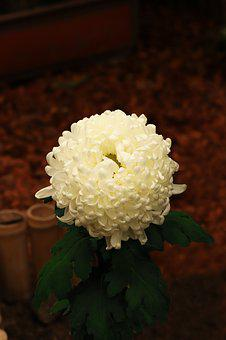 Chrysanthemum, White, Autumn, Flowers, Plant, Flowering
