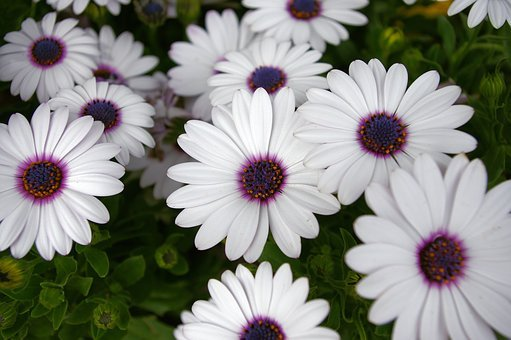White Daisy With Purple Center, Daisy, Flowers, Dallas