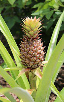 Pineapple, Fruit, Plant, Tropical, Food, Nature