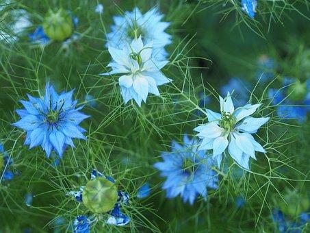 Flowers, Garden, Blue, Blossom