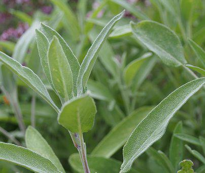 Sage, Herbs, Vegetable, Health, Garden Plant, Tea
