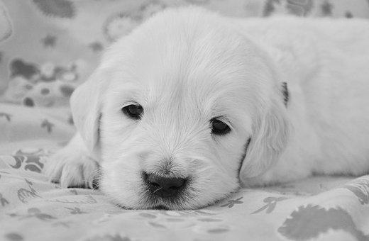 Dog, Golden Retriever Puppy, Photo Black White