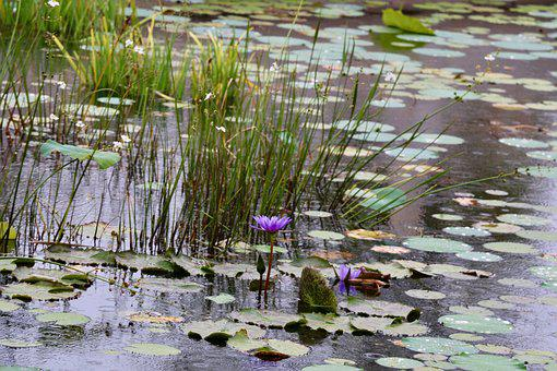 Water Lily, Lily Pad, Grasses, Nature, Florida