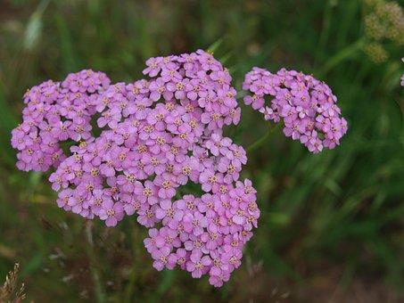 Milfoil, Herb, Plant