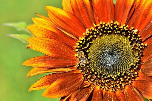 Sunflower, Flower, Bee, Honey Bee, Insect, Blossom