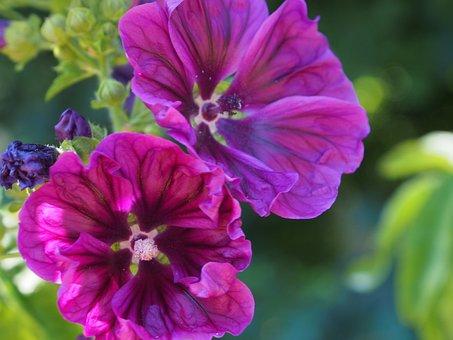 Kaarsjeskruid, Flowers, Edible, Herb, Blossom, Flower