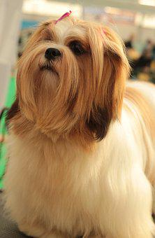 Dogshow, Lhasa Apso, Dog, Long-haired, Young, Red White