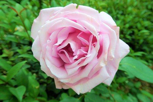 Rose, Nature, Plant, Leaves, Flower, Greens, Love