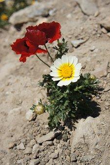 Flowers, Mack, Desert, Red, Stones, Land, Dry