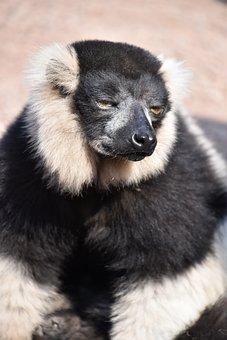 Lemur, Maki Catta, Madagascar, Eyes, Stripes, Nature