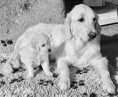 Dog, Bitch, Mother Golden And Her Little