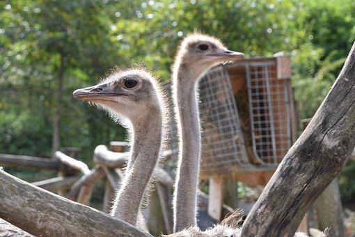 Ostriches, Bird, Nature, Head, Portrait, Africa, Pen