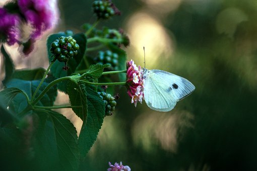 Butterfly, Pieris Rapae, The Large Cabbage White Lesser
