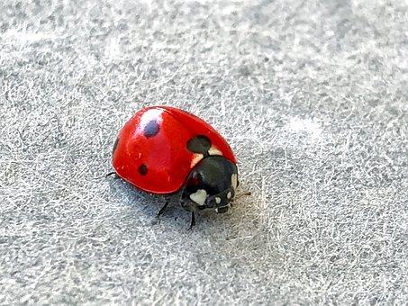 Ladybug, Alifaki, Insect, Red