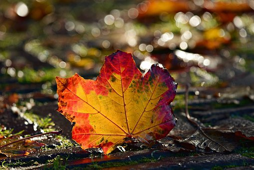 Autumn Leaf, Colorful, Red, Yellow, Vein, Pattern