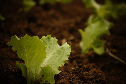 Plant, Lettuce, Plantation, Harvest, Salad, Fresh