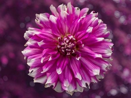 Flower, Dahlia, Nature, Colorful, Spring, Color