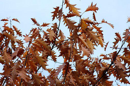Foliage, Oak, In The Fall, Tree, Nature, Branch