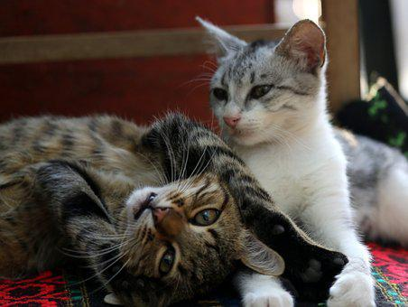 Cats, Love, Two, Play, Feline, Animals, Together