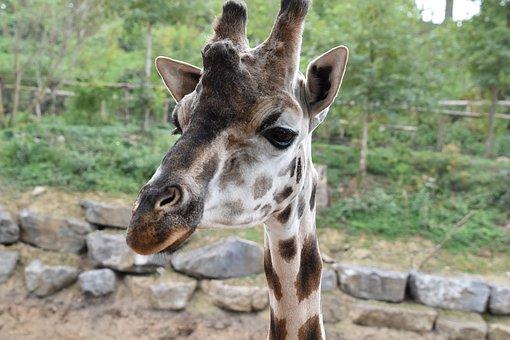 Giraffe, Nature, Animal, Africa, Safari, Head, Wild