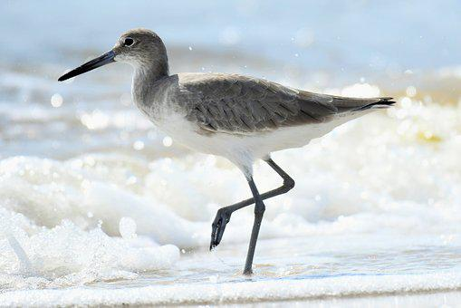 Willet, Catoptrophorus Semipalmatus, Winter Dress