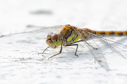 Dragonfly, Animal, Insect, Nature, Wing, Summer, Macro