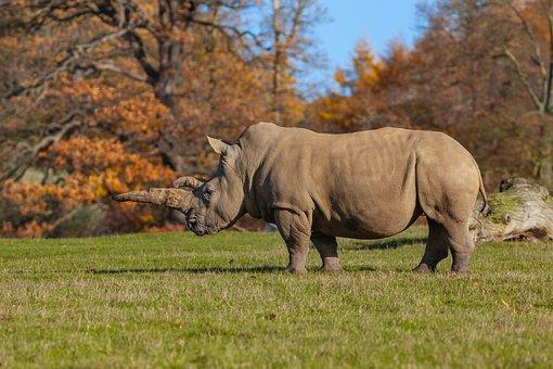 Rhinoceros, Rhino, Wildlife, Africa, Pachyderm