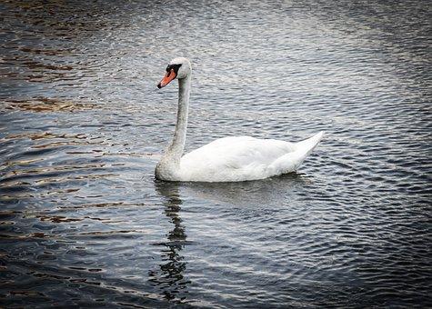 Swan, Bird, Water, Animal, White, Waterfowl, Swim, Wild