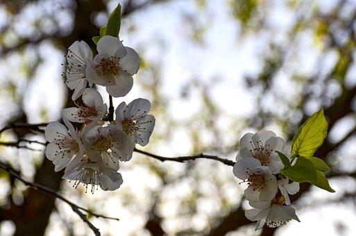 Apple Flower, Spring, Bloom, Blossom, Branch, Apple