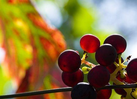 Wine, Grapes, Sun, Backlighting, Bright, Vine