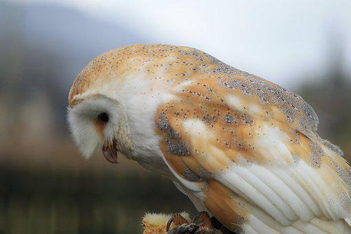Owl, Barn Owl, Bird, Hunting, Watching, Waiting, Tree