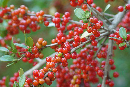 Red, Berries, Berry, Harvest, Autumn, Summer, Fruits