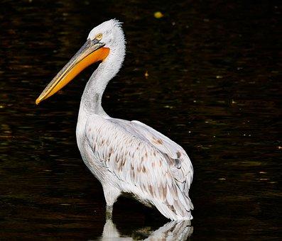 Animal, Bird, Pelikan, Bill, Water Bird, Exotic