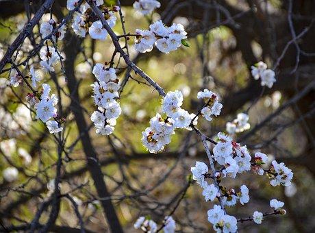 White Flower, Apple Flowers, Bloom, Blossom, White