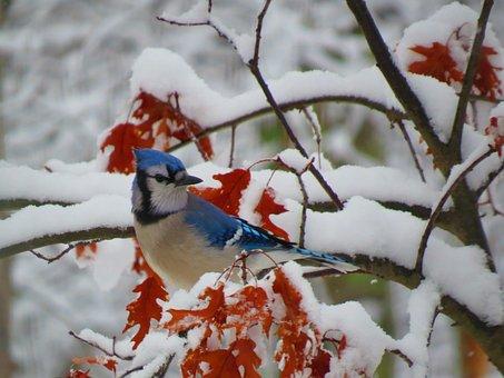 Blue Jay, Bird, Winter, Snow, Leaves, Wildlife, Bluejay