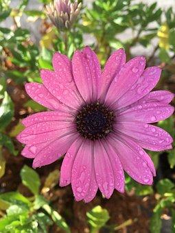 Blossom, Bloom, Blütenzauber, Pink, Raindrop, Wet