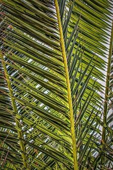 Palm Fronds, Palm, Palm Leaf, Plant, Nature, Close Up
