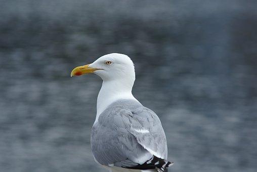 Seagull, Herring Gull, Seevogel, Coast, North Sea