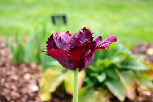 Purple Parrot Tulip, Tulip, Parrot, Dallas, Texas