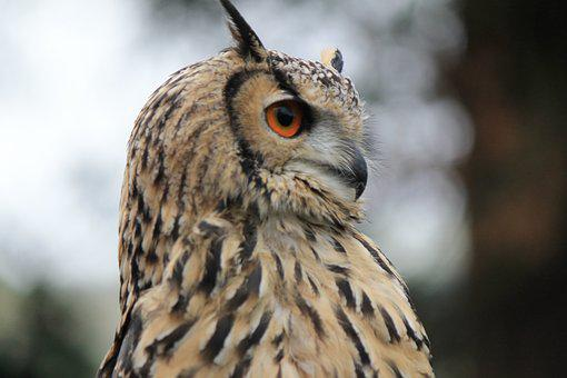 Owl, Eagle Owl, Eagle-owl, Hunting, Bird, Eyes, Orange