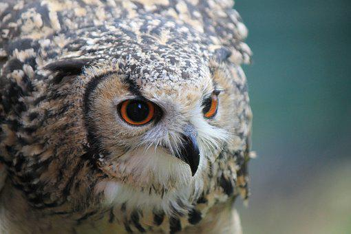 Owl, Eagle Owl, Eagle-owl, Ears, Eyes, Beak, Sharp