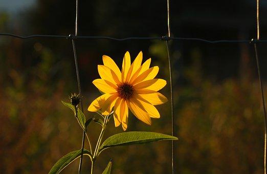Sunflower, Jerusalem Artichoke, Flower, Yellow, Edible