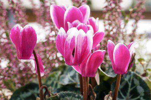 Cyclamen, Flower, Flowers, Garden, Ornamental Plant