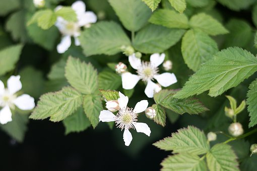 Raspberries, Flower, Green, Flora, Spring